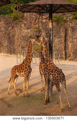 Three hungry giraffes eating their lunch in zoo
