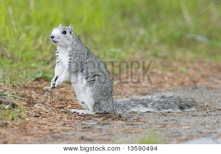 Delmarva Peninsular Fox Squirrel