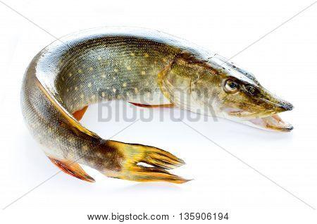 Whole pike fish isolated on white background