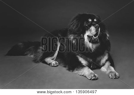 Closeup portrait of big beautiful Tibetan mastiff dog lying over black background. Copy space. Monochrome.