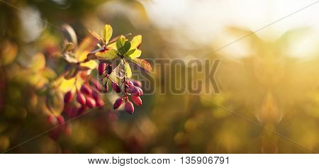 Nature banner of red hawthorn berries in Autumn