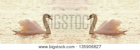 Website banner of beautiful mirrored swan as swimming in the water
