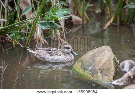 Marbled Teal Duck floating in the pond.