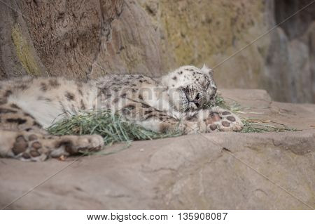 Furry Snow Leopard sleeping on its side.