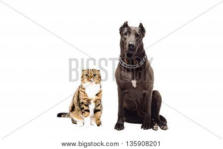 Staffordshire terrier and cat Scottish Fold sitting together isolated on white background