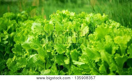lettuce green growing in the garden farming
