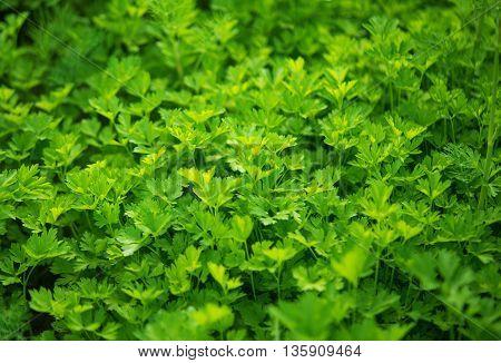 Fresh growing flat leaf green parsley background.