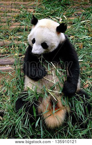 Chengdu China - April 28 2005: A giant panda eating a shoot of bamboo at the Chengdu Panda Preserve Park