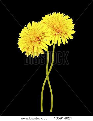 Dandelion flower on a black background. spring
