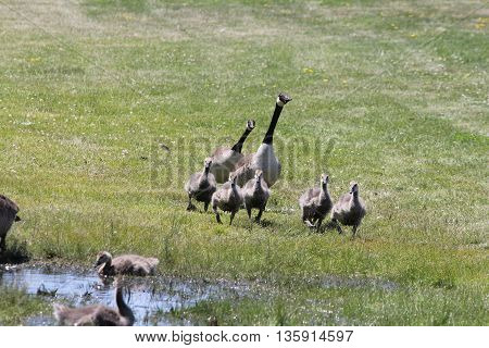 Canada Geese & Goslings (Branta canadensis) running towards a big water puddle