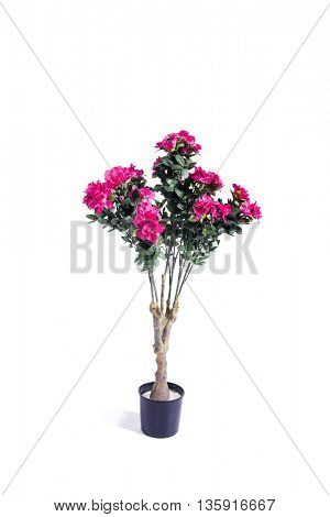 Rose pot isolated on the white background