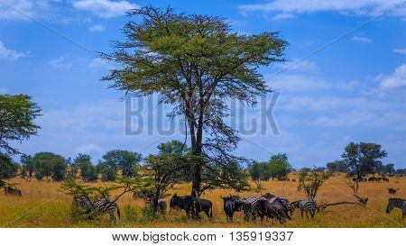 Grazing zebra and wildebeests in northern Serengeti plains