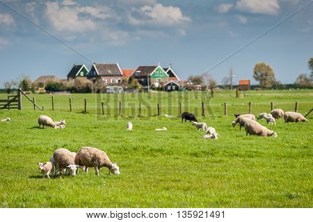 Sheeps And Lambs On Green Pasture