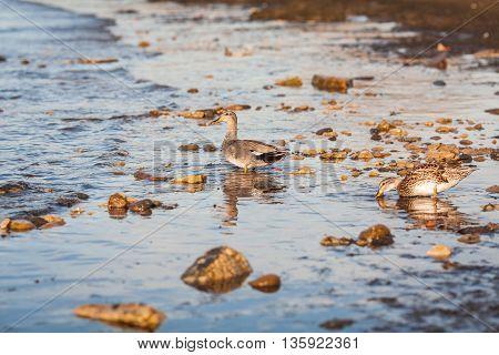 Ducks At  Baltic Sea