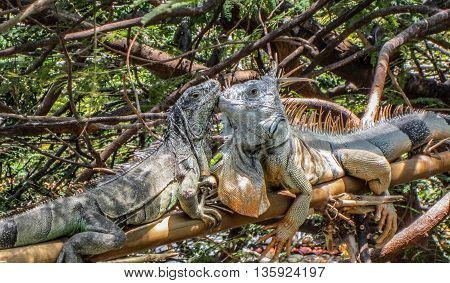 Mother and baby iguanas kissing on tree branch in jungle.
