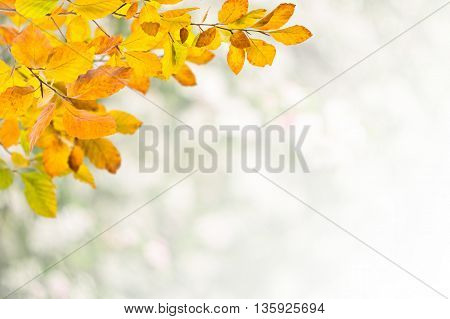 Golden autumn branch with leaves on white background
