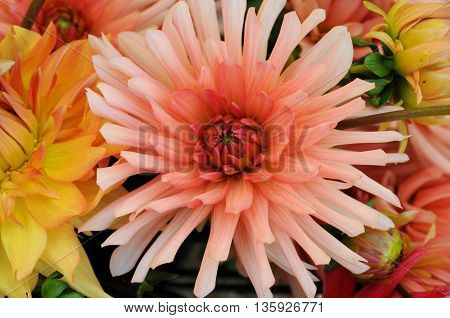 flower, horinzontal picture of a close up of dahlia