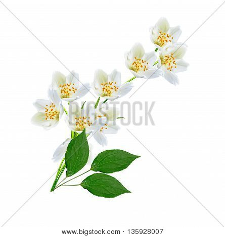 White jasmine flower. branch of jasmine flowers isolated on white background. spring flowers