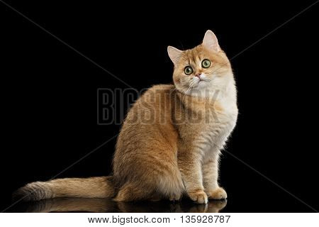 Cute British Cat Gold Chinchilla color with Green eyes Sitting and Curious Looks, Isolated Black Background, Side view