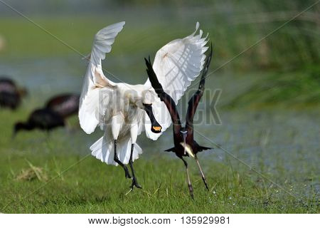 spoonbill in natural habitat (Platalea leucorodia)