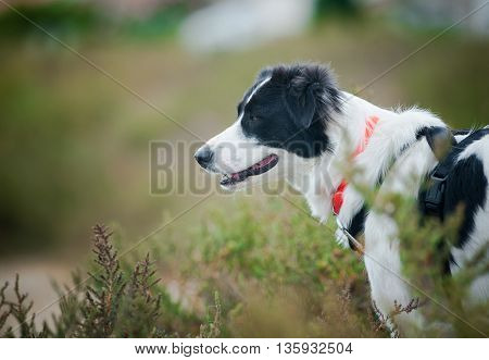 black and white border collie in summer fields