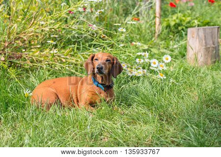 Dog lying in a meadow among the flowers of camomile and green grass. Dreamy dog's muzzle.