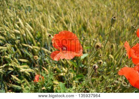 Single red poppy flower in green wheat field in close-up