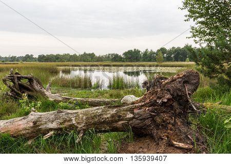 Fallen tree and lake swamp, Kampina, Netherlands