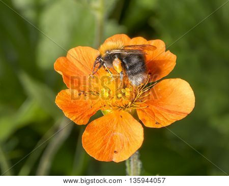 Bumble Bee on Orange Flower with its Pollen Basket.