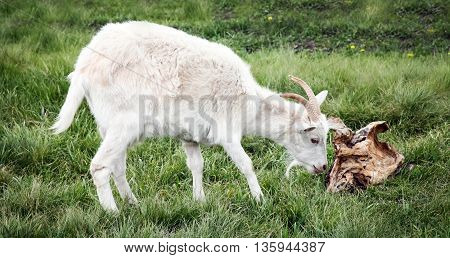 White goat chewing on the bark. Green grass