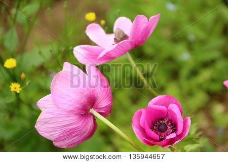 Beautiful violet poppies on a rural kitchen garden. Papaver somniferum, Opium poppy.