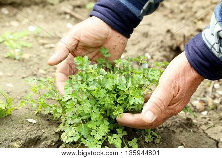 Old Male Hands Holding Green Parsley, Close Up