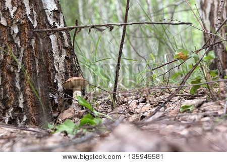 brown cap boletus growing in a clearing near the birch