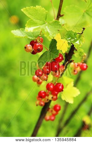 Ripening redcurrant bunch on the branch close up