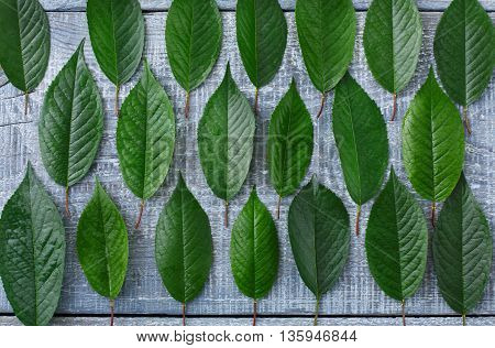 Green fresh leaves of cherry tree pattern background. Texture of leaf rows, abstract floral ornament of natural foliage at blue rustic wood. Wooden table with greenery, top view