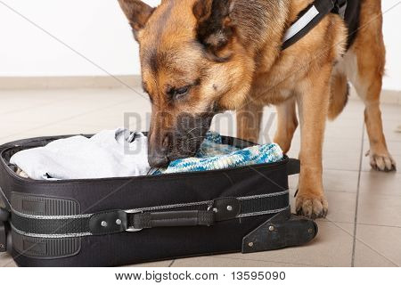 Sniffing Dog Chceking Luggage