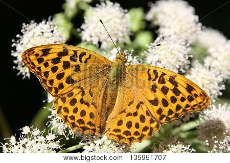 Butterfly - Silver-washed Fritillary (Argynnis paphia) feeding on white flower