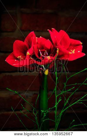 Amaryllis shot on background red colour, brick wall as background