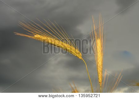 Barley in the field closeup selective focus on front stems dark background sky