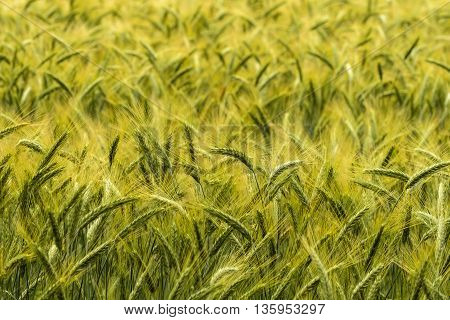Barley in the field, field waving in wind