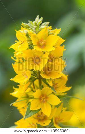 Idyllic Summer Meadow Wildflowers -  Yellow Lysimachia Punctata