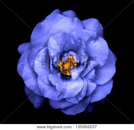 Surreal Dark Chrome Blue Rose Flower Isolated On Black