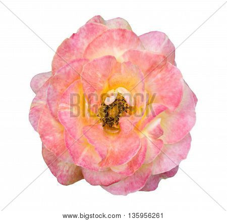 Natural Tender Exotic Pink And White Rose Flower Isolated On White