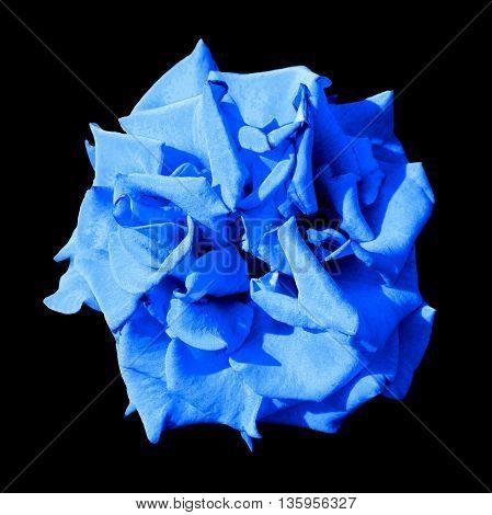 Surreal Dark Exotic Blue Marigold Flower Macro Isolated On Black