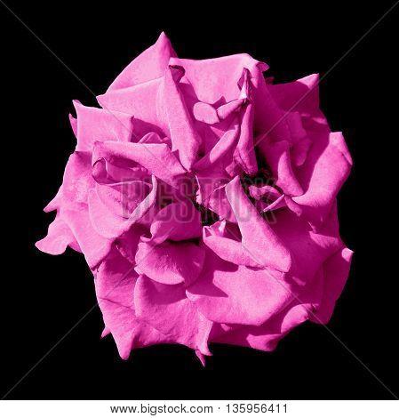Surreal Dark Exotic Pink Marigold Flower Macro Isolated On Black