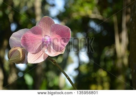 Red and pink orchid in bloom. Shown in the wild.