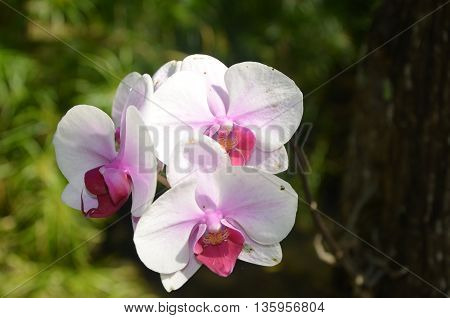 White orchid in the wild tropical regions of Jamica