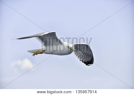 A seagull making eye contact during flight