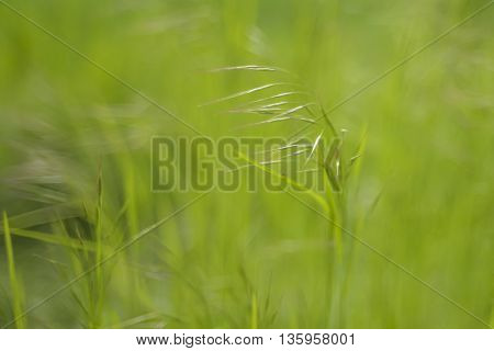 Selective focus - a grass straw in the wind