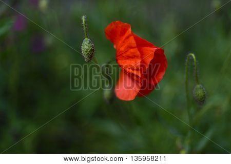 Wild poppy blossom, single, green background, isolated